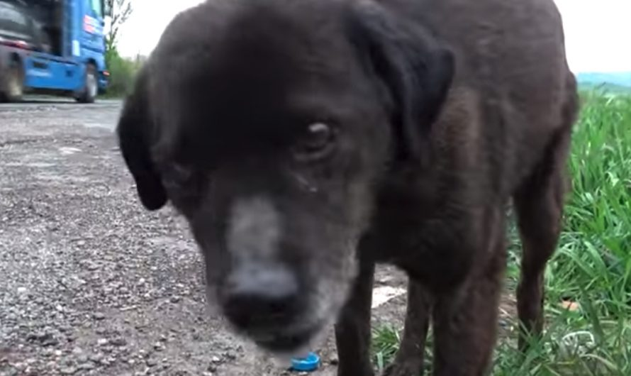 Abandoned dog Remained On The Side Of The Busy Street As Cars Zoomed Past.