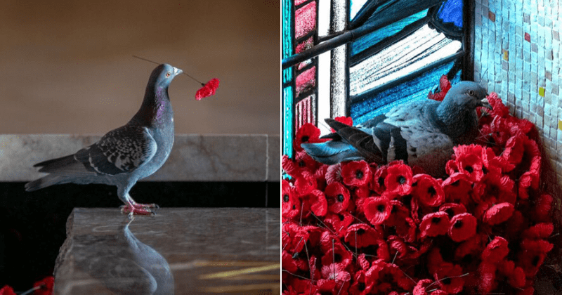 Pigeon Builds A Nest After Stealing Poppies From An Unknown Soldier's Tomb.