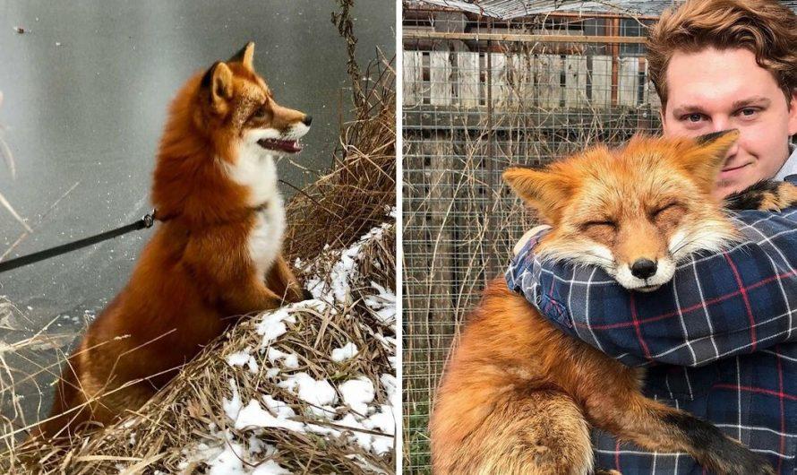 Wild Fox Becomes A Loyal Friend To A Man That Saved Him From A Fur Farm (40 Pics).