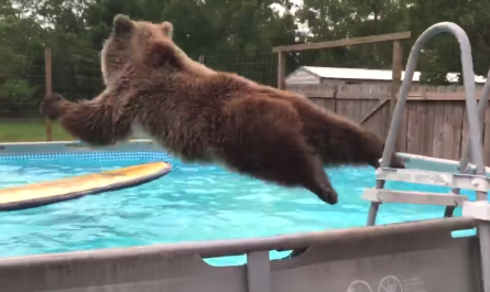 Grizzly Bear Jumps In Man's Swimming pool, Reverses And Also Flashes A Smile