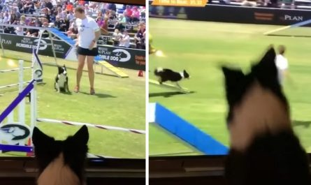 Border Collie Watches Himself Win Dog Agility Competition On TV