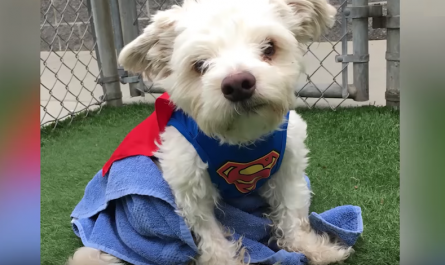 Dog given up since he could not use his back legs wants his old family to see him currently