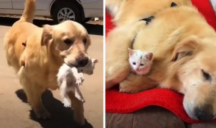 Golden Retriever Brings Stray Cat Home To Keep As Her Own