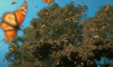 Half A Billion Monarch Butterflies Cover The Trees Waiting To Fly