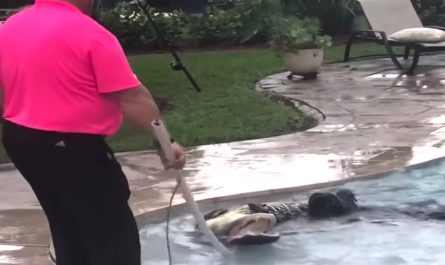 Mother Scans Back Yard Before Letting The Dogs Out, Sees Alligator In The Swimming pool