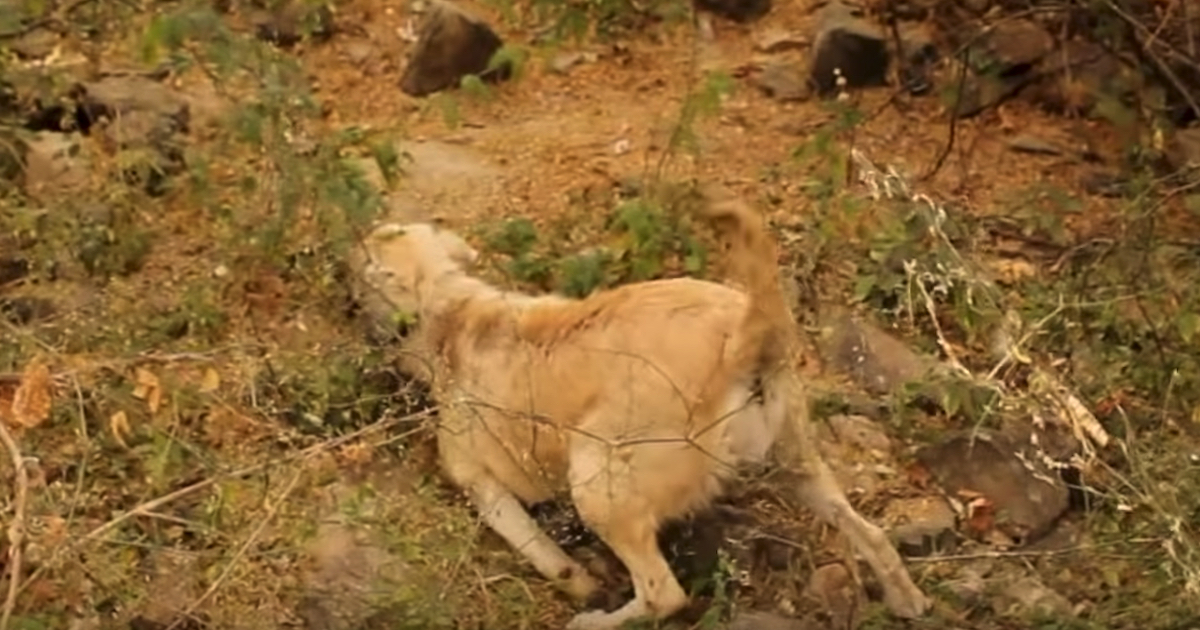 Pregnant Dog Involved In A Struck And Run Left To Struggle In The Bushes