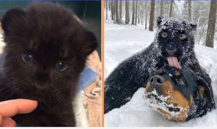 Abandoned By His Mom, Panther Is Raised By A Human And A Rottweiler