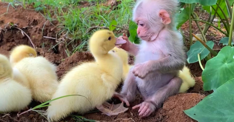Adorable Moment Shows Baby Monkey Taking Care Of Baby Ducks Like Family