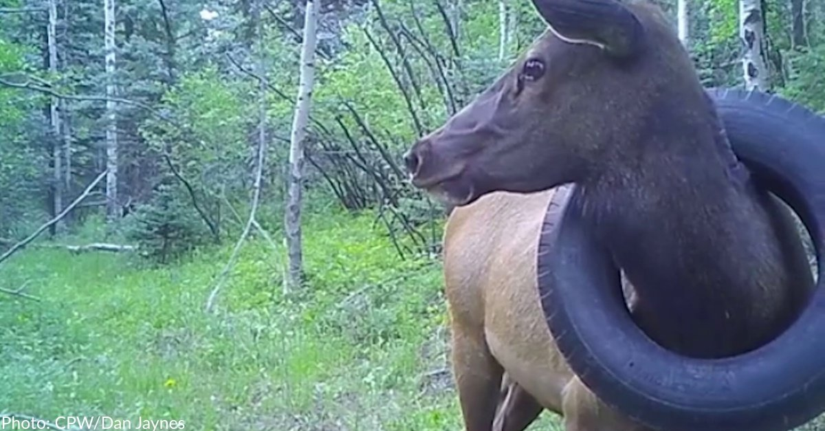 Bull Elk With Tire Around His Neck For Half His Life Is Lastly Freed