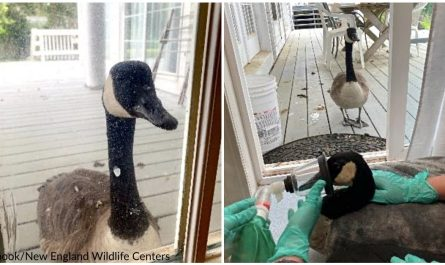 Goose Touches On Animal Hospital's Door, Comes To Convenience Injured Mate