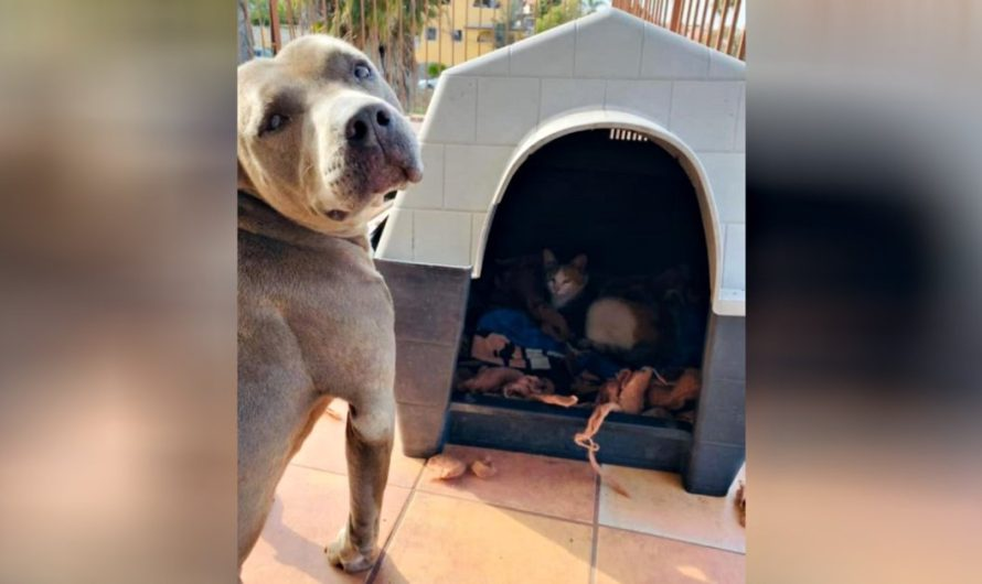 Kind Pit Bull Offers His Dog House To Pregnant Stray Cat And Also Stands Guard As She Has Her Kitties