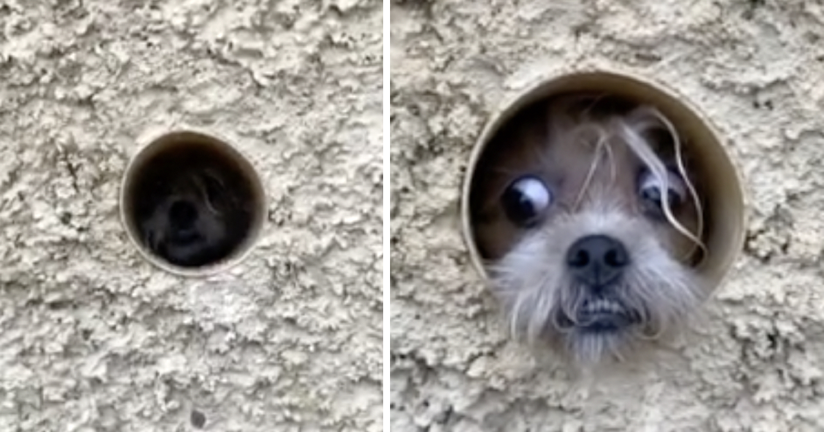 Paranoid Puppy Uses Pipeline To Watch Passersby And Guard Her Home