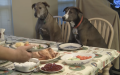 The Man Lovingly Prepares The Thanksgiving Dinner For His Pet dogs
