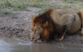Brave Turtle Terrifies Lions Far From The Water Hole